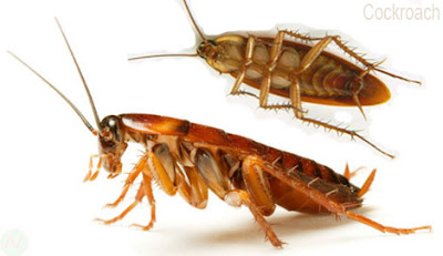 Cockroach, Cockroach insect,তেলাপোকা, আরশোলা