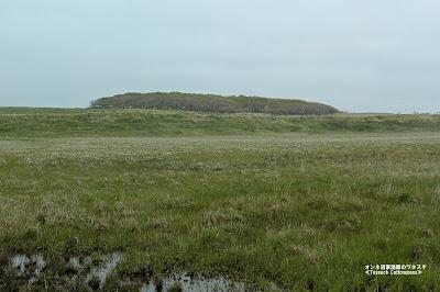 オンネ沼東側の湿原のワタスゲ ≪Tussock Cottongrass≫