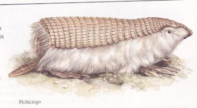 armadillos y mulitas de Argentina Pichiciego menor Chlamyphorus truncatus