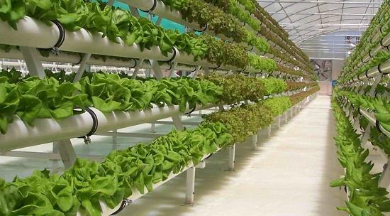 jenis-jenis tanaman yang bisa ditanam secara hidroponik