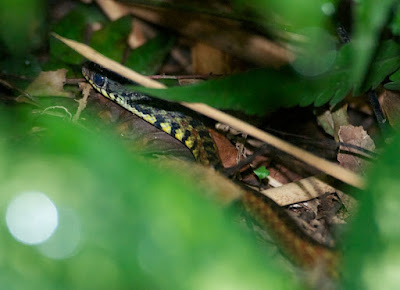 Spotted Keelback (Xenochrophis maculatus)
