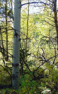 Aspen Trees in Nature have a Straight Central Leader