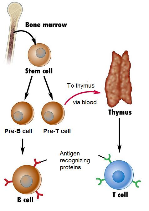 #59 The immune response - Lymphocytes | Biology Notes for ...