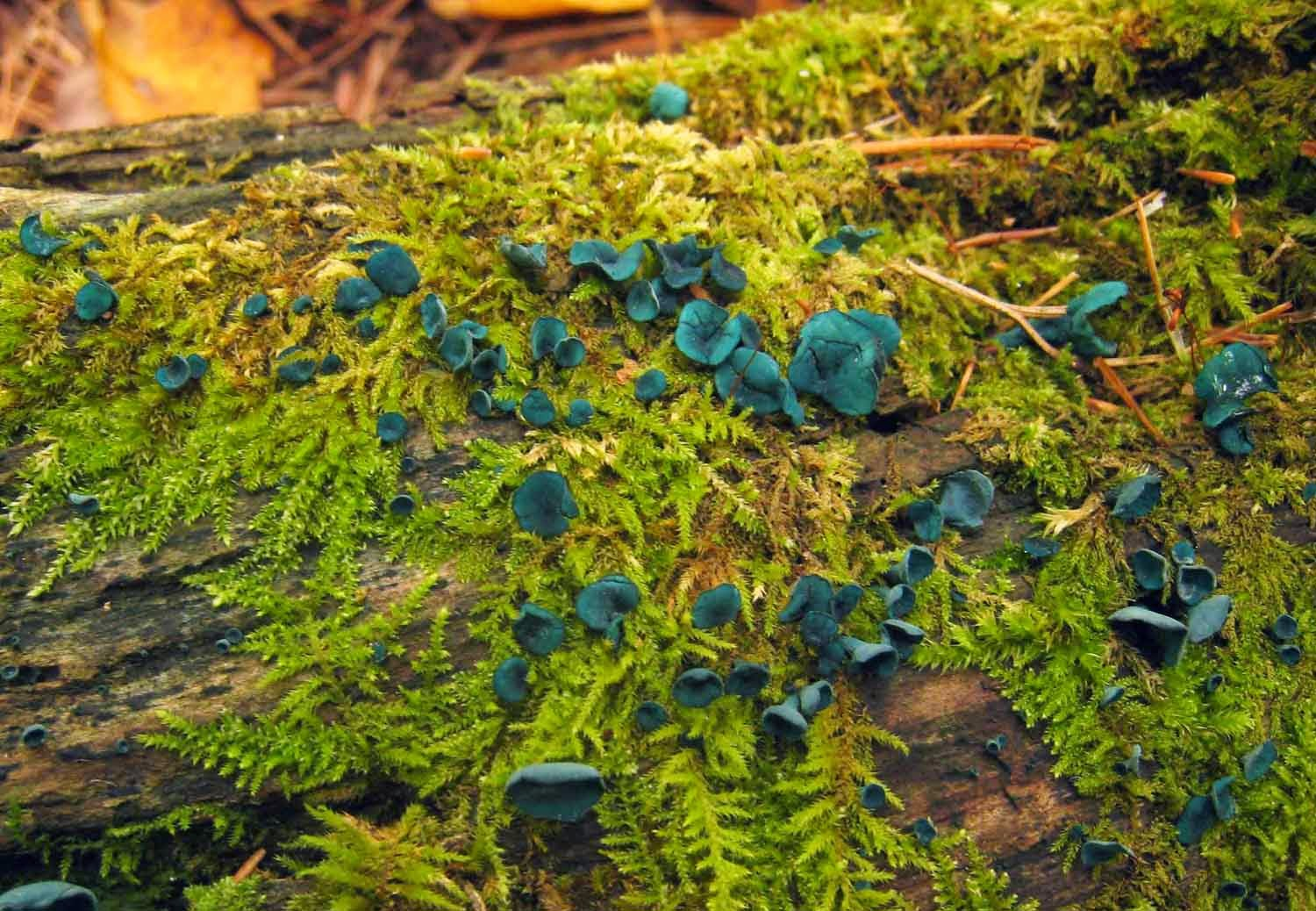 Chlorociboria produces blue-green fruit bodies.