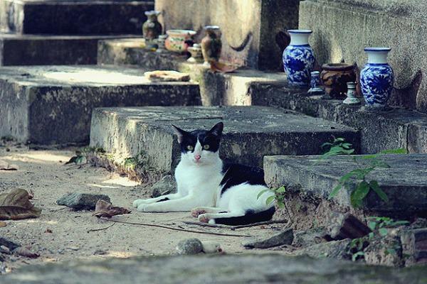phuket cemetery cat