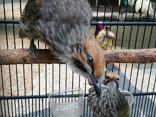 Burung Cucak Rowo - Berak Darah pada Burung Cucak Rowo dan Bagaimana Pengobaannya - Penangkaran Burung Cucak Rowo