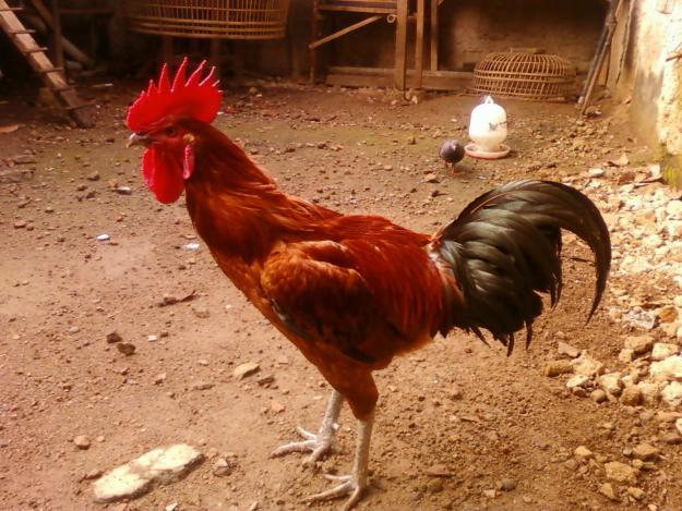 Anak Ayam Termahal Di Dunia, Dipatok Harga IDR 6 juta Per