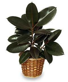 Rubber Plant Delivered In Brooklyn Ny Same Day 60