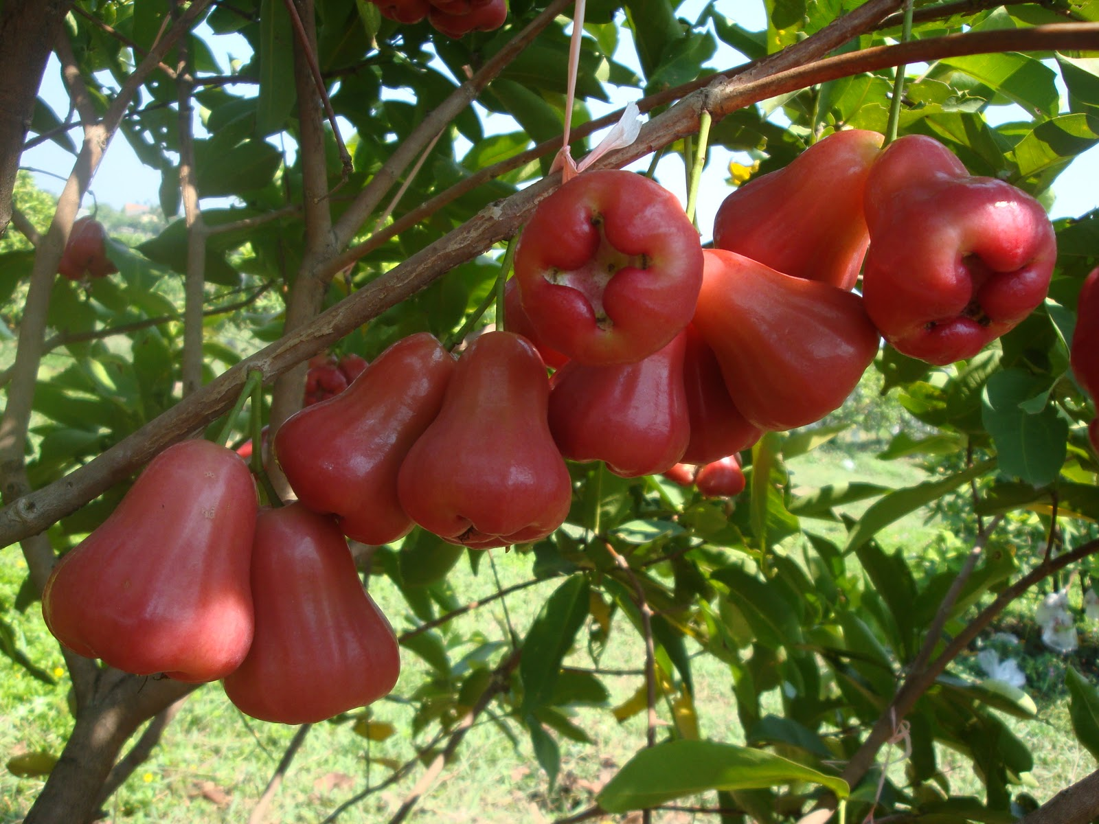 Jambu Fruit