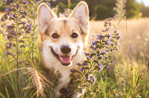 Corgi smiling amongst grass