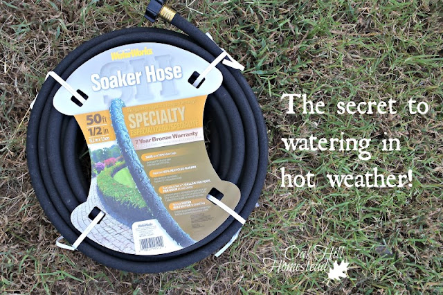A soaker hose is the secret to watering the garden in hot weather.