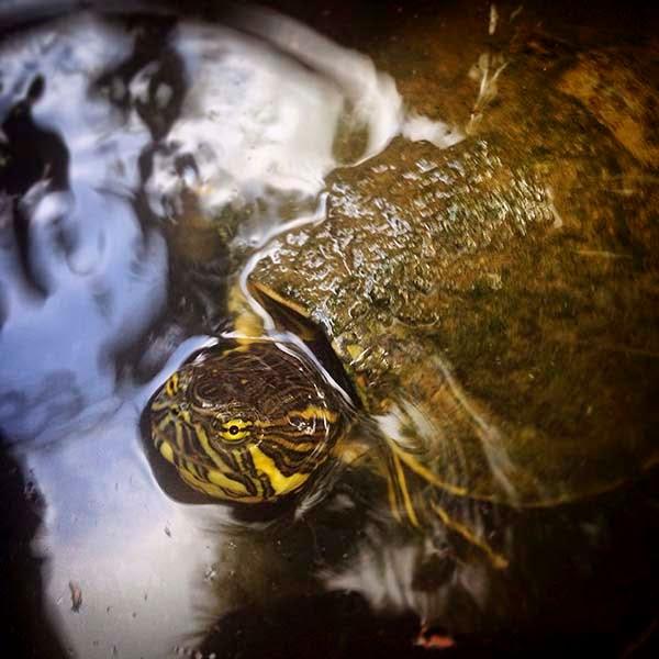 Una de las tortugas que hay en la entrada del restaurante Chac Mool en Santa Elena, Yucatán