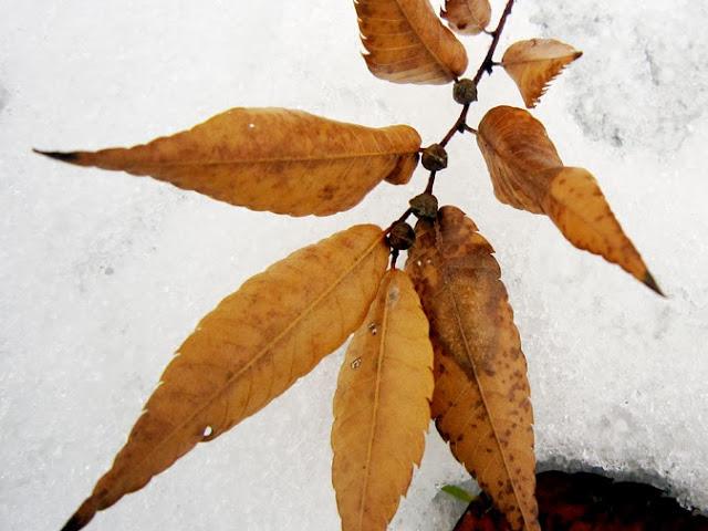 ケヤキの実の付いた落葉