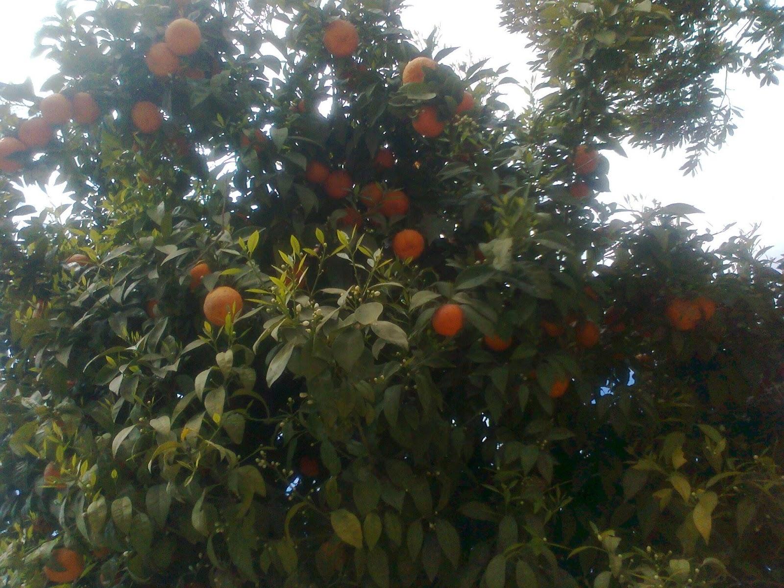 Citrus × Aurantium L Sevilla Orange Orange Amère Graines Orange Amère
