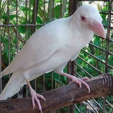 Crow | A-Z List of 125 Rare Albino Animals [Pics]