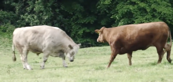 Poor Cow Screamed Believing She Was Going To A Slaughterhouse But Instead, She Saw Freedom For The First Time