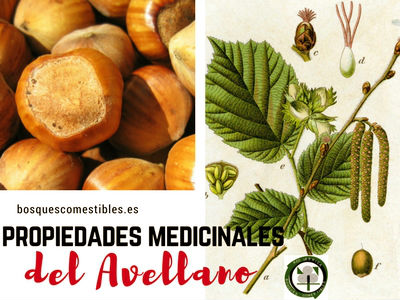El Avellano tiene propiedades astringentes gracias a su corteza y más propiedades medicinales