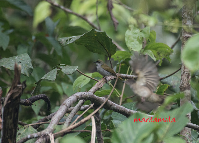 Plain sunbird  (Anthreptes simplex)