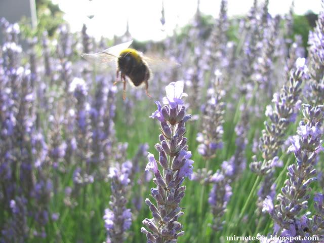 Британский countryside в окрестностях Хитроу: лаванда