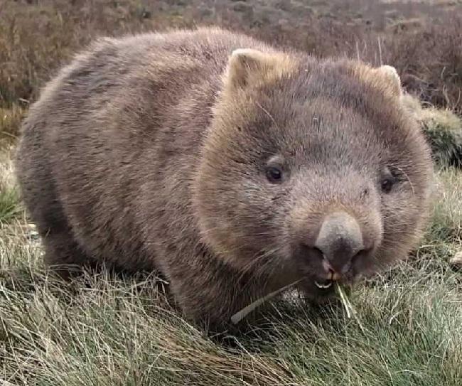 Wómbats-3 animales que pertenecen a la familia de los marsupiales