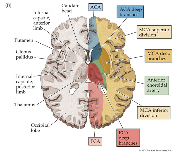 Localization of Brain Function Essay Sample