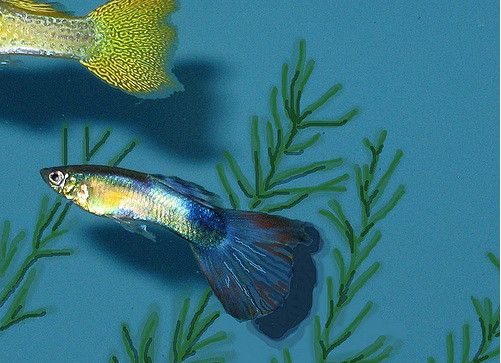 Ikan Hias Air Tawar yang Bagus