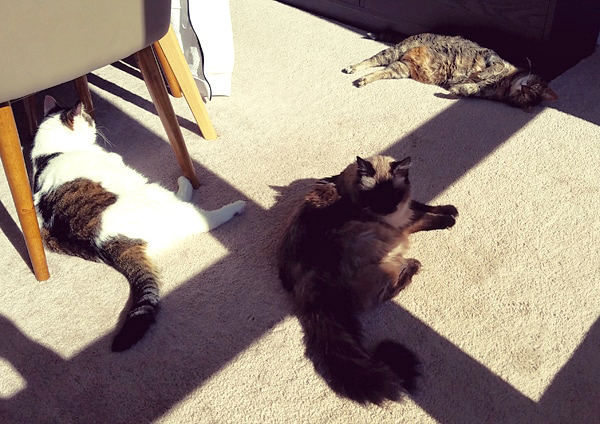 image of Olivia the White Farm Cat, Matilda the Fuzzy Sealpoint Cat, and Sophie the Torbie Cat all laying in the sunshine on the dining room floor