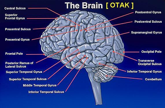 Struktur kompleks otak manusia
