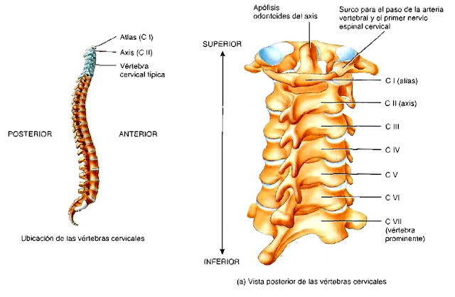 Anatomía columna vertebral región cervical