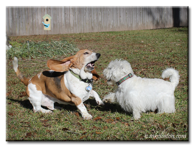 Basset and Westie playing