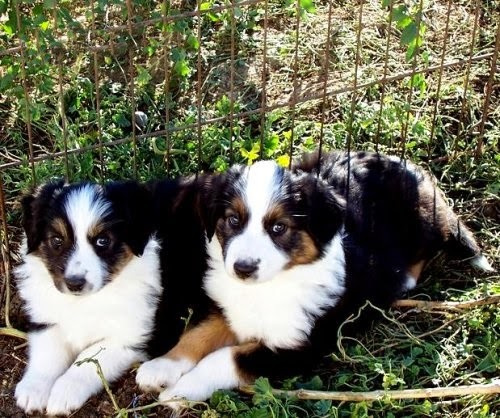 Cute puppy and dog: Cute two English Shepherd
