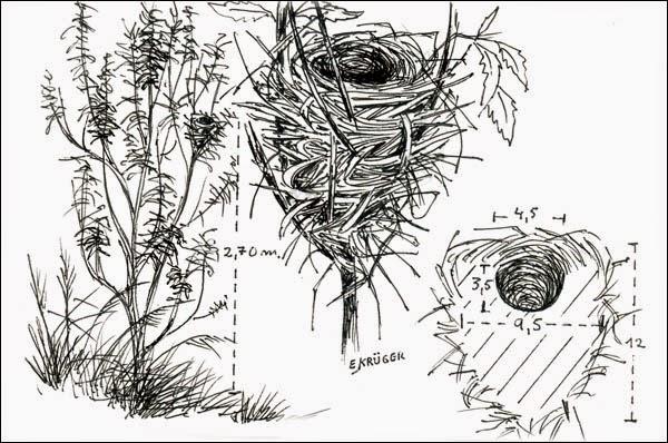 nido de ave Tangará