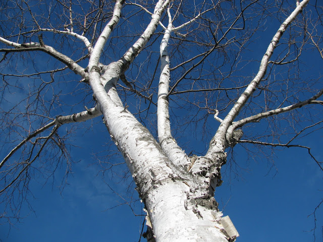 Birch-Tree-in-Winter-Sun-in-Farmingdale-2013
