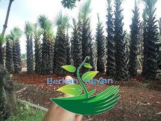 Harga pohon lontar