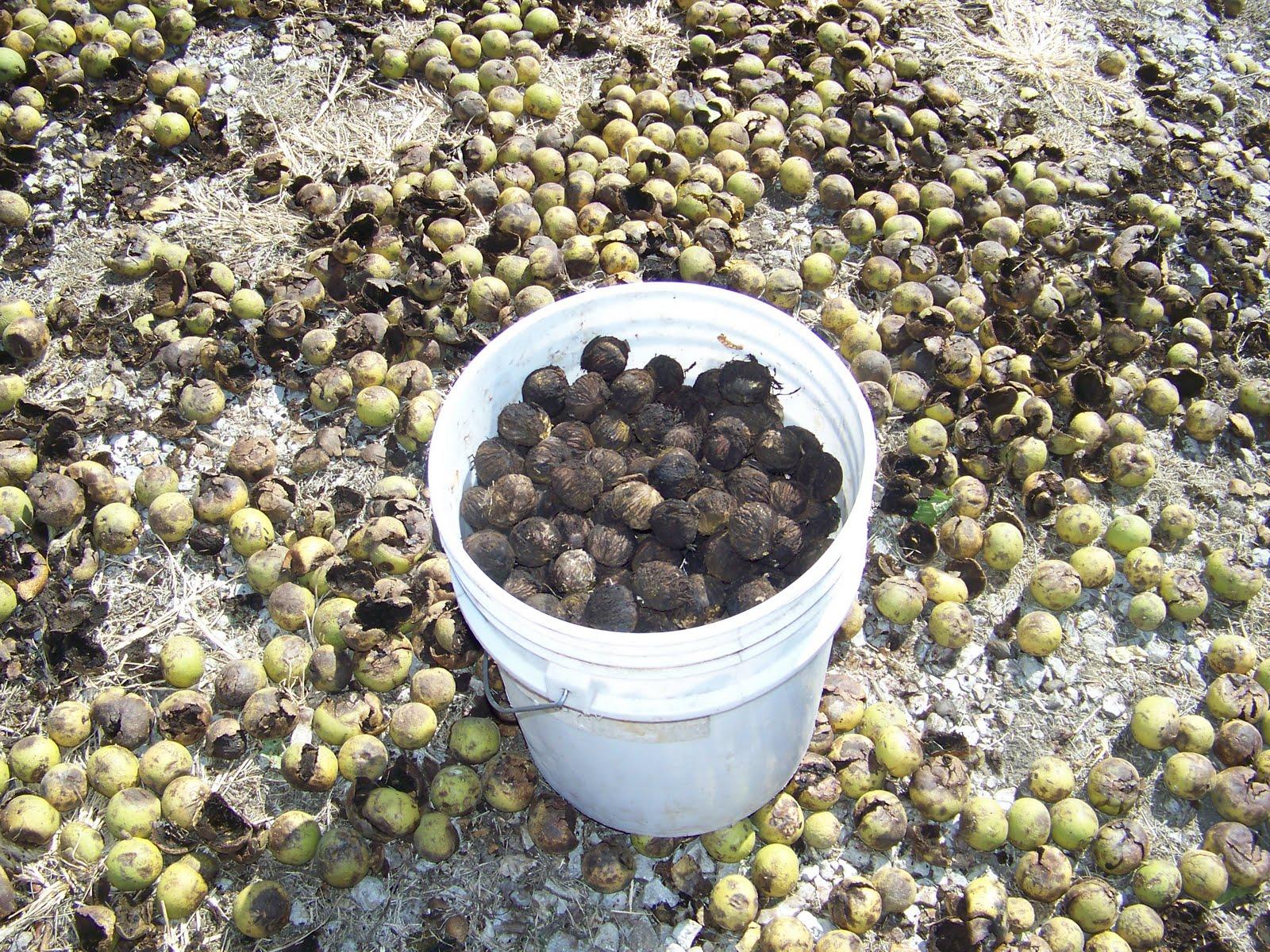 Hickery Holler Farm: Black Walnut Harvest