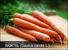 Wortel (Daucus carota L.) - Mengenal manfaat, klasifikasi dan Morfologi Wortel