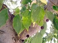 Çitlembik ağacındaki çitlembik meyveleri