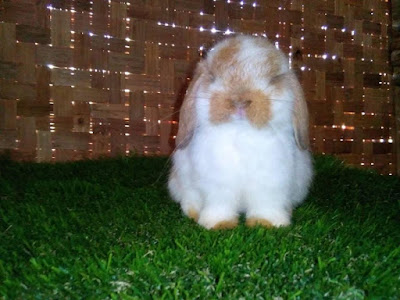 pusat supplier peternakan breeder kelinci import holland lop berkualiatas