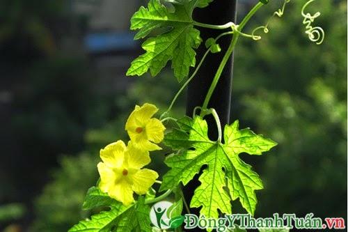 Mẹo chữa đau dạ dày tại nhà từ hoa mướp đắng