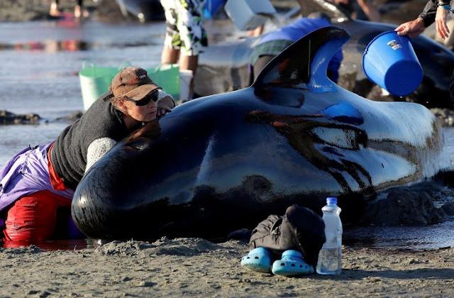 400 ballenas quedan varadas y luchan por salvar su vida