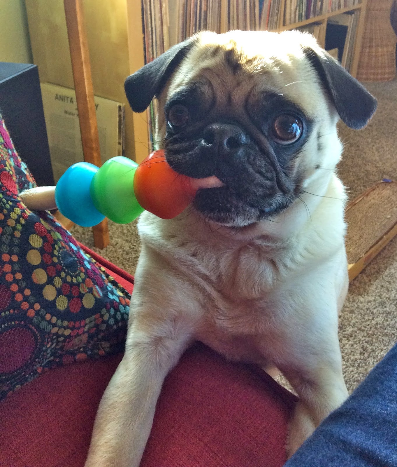 Liam the pug with his toy