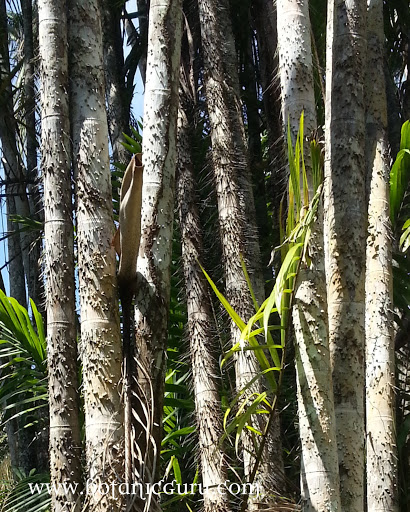 Oncosperma tigillarium, Nibong Palm trunk