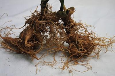 Sâm Ngọc Linh được sử dụng rộng rãi từ người già đến trẻ nhỏ