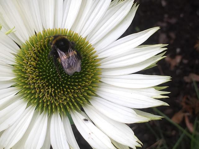 Tips til humlevennlige planter for hagen din - hvit purpursolhatt
