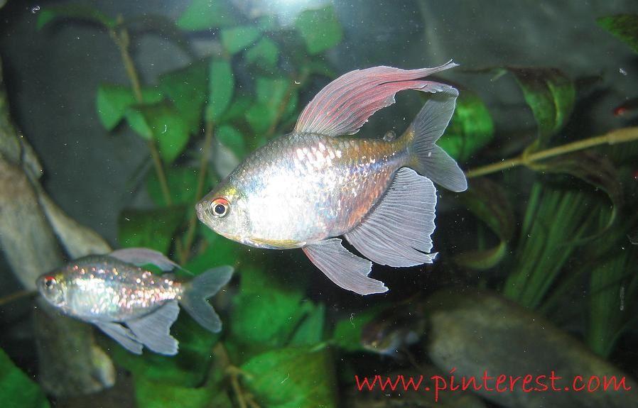 Diamon Tetra - Jenis Jenis Ikan Hias Air Tawar Aquascape Paling Lengkap