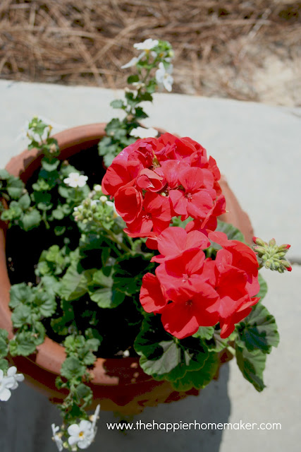 A close up of red flowers in a clay pot