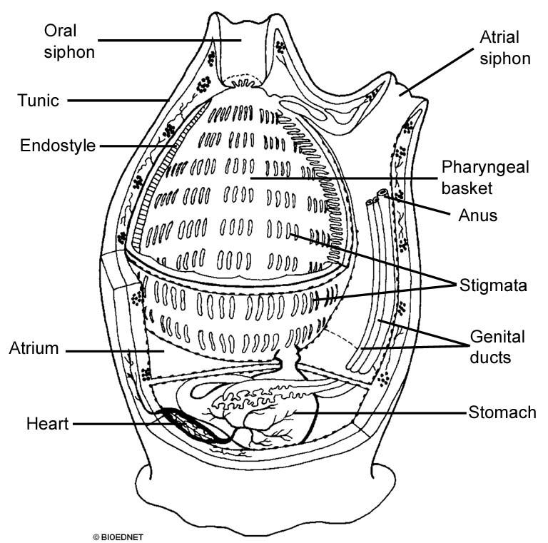 The Echinoblog: Beautiful & Creepy Things about Tunicates ...
