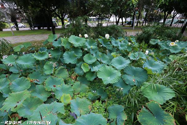 《台中.北屯》景賢公園|白荷花池|穗花棋盤腳|生態豐富綠意盎然