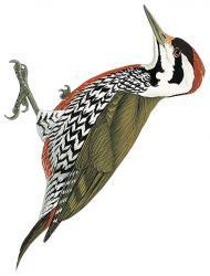 fire bellied woodpecker