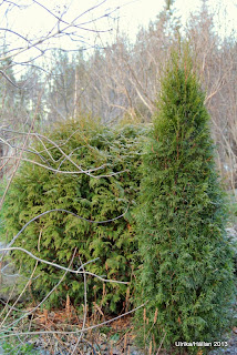 Pelartuja Thuja occidentalis 'Smaragd'